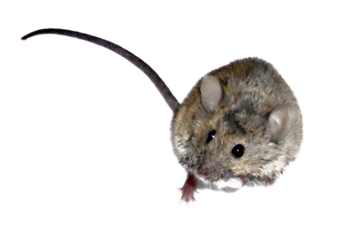 Buffalo, NY Residential Pest Control Services and Rodent Removal